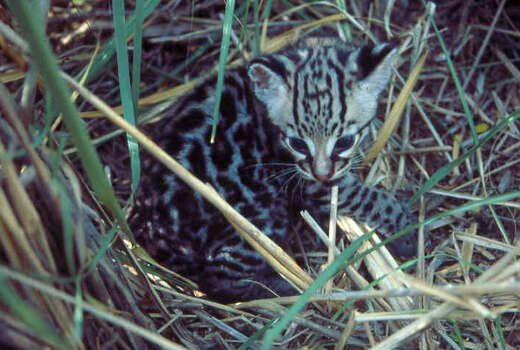 Ocelots typically give birth to one to two kittens, and have a litter every other year, according to Wikipedia. Photo: Courtesy Photo/U.S. Fish And Wildlife
