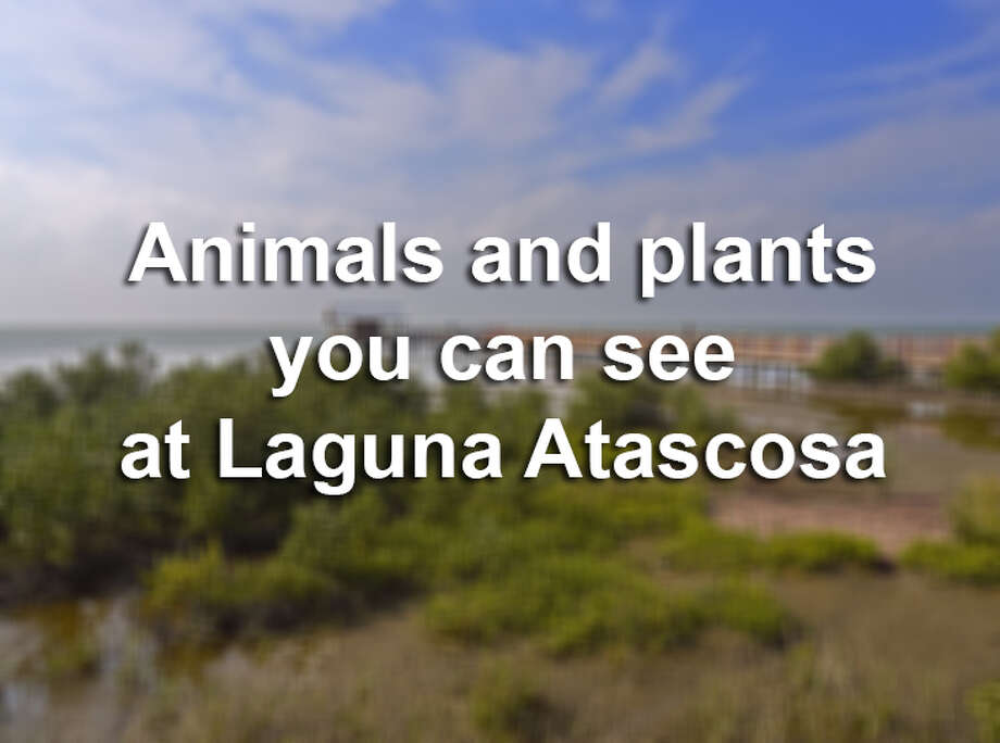 The Laguna Atascosa National Wildlife Refuge was established in 1946 and sits on more than 97,000 acres of South Texas. According to  U.S. Fish and Wildlife, the refuge is home to more recorded species of birds than any other national refuge. Photo: Louise Heusinkveld, Getty Images / (c) Louise Heusinkveld