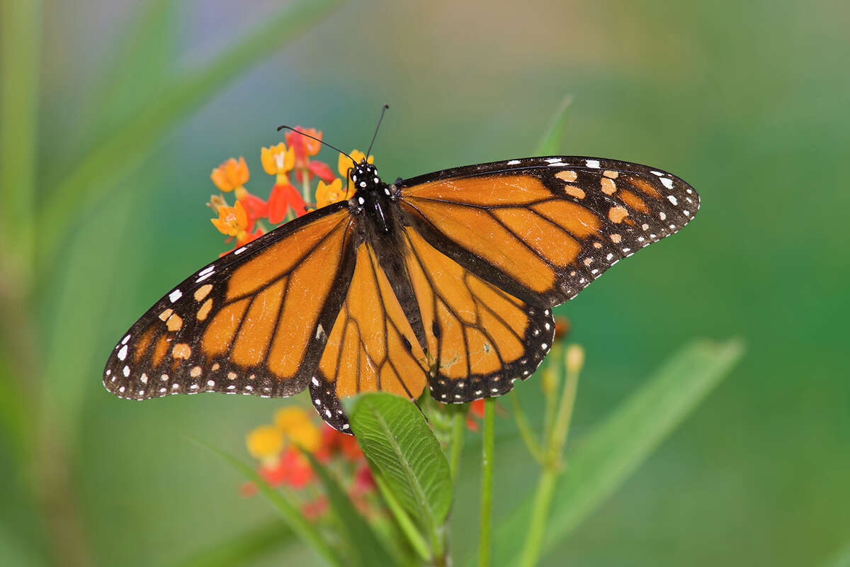 Monarch butterflies use tropical milkweed as a host plant. Monarchs deposit their eggs on the milkweed and the plant becomes food for the larvae. See photos of Texas endangered species.