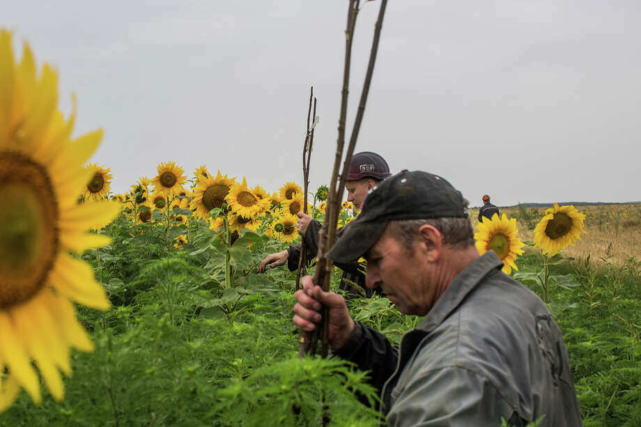 A group of miners search a field for debris and human remains from an Air Malaysia plane on July 18, 2014 in Grabovka, Ukraine. Air Malaysia flight MH17 traveling from Amsterdam to Kuala Lumpur crashed yesterday on the Ukraine/Russia border near the town of Shaktersk. The Boeing 777 was carrying 298 people including crew members, the majority of the passengers being Dutch nationals, believed to be at least 173, 44 Malaysians, 27 Australians, 12 Indonesians and 9 Britons. It has been speculated that the passenger aircraft was shot down by a surface to air missile by warring factions in the region. Photo: Brendan Hoffman, Wire Photos / 2014 Getty Images
