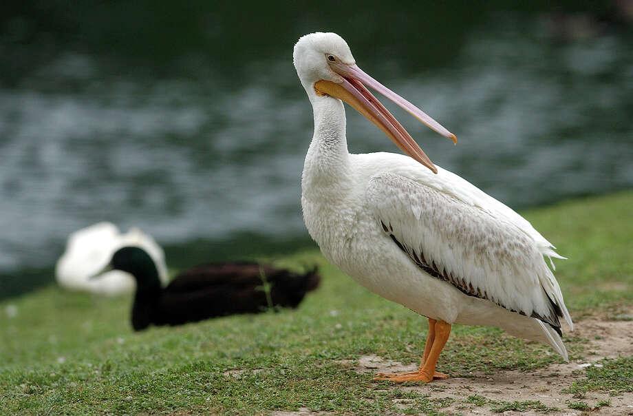 Landa Park's lone pelican takes his place beside other water fowl at Landa Lake. TOM REEL/STAFF MAY 12, 2005. Photo: TOM REEL, SAN ANTONIO EXPRESS-NEWS / SAN ANTONIO EXPRESS-NEWS