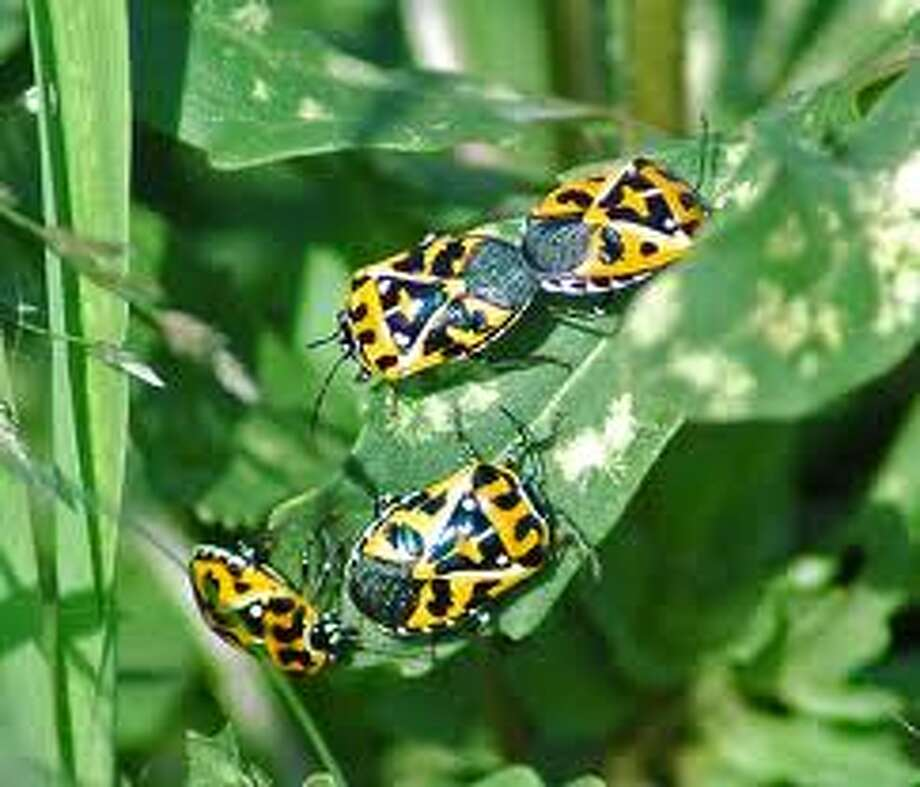 Shown are Harlequin bugs, which infest kale and arugula plants that don't like warm weather.
