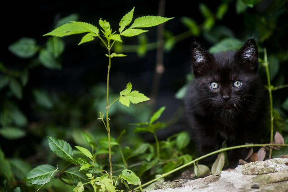 Good for the cat population, not so good for the bird population:Michigan's Genesee County is hunting feral felines like this black cat so they can be captured, neutered and then released. Photo: Jake May, Associated Press