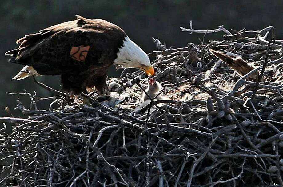 Officials say bald eagles continue to expand their range in Southern California's Channel Islands, with a nest spotted on San Clemente Island for the first time in more than 50 years. Photo: Associated Press