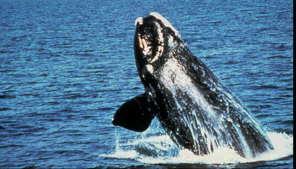 A government decision allowing seismic testing off the Atlantic coast would restrict such activity in the migratory routes of the endangered right whale.
