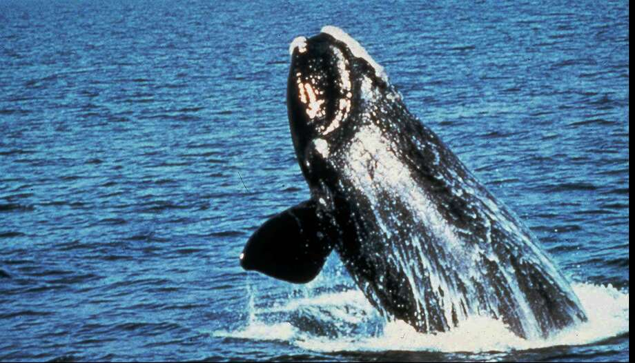 A government decision allowing seismic testing off the Atlantic coast would restrict such activity in the migratory routes of the endangered right whale. Photo: HO / GRAY'S REEF NATIONAL MARINE