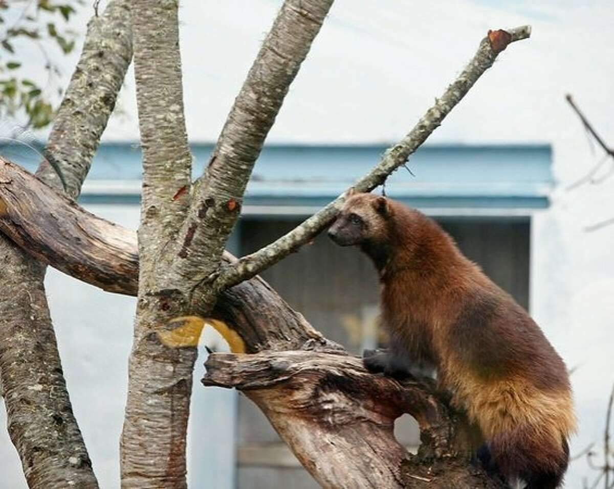 A wolverine climbs a tree at the San Francisco Zoo's newest exhibit.