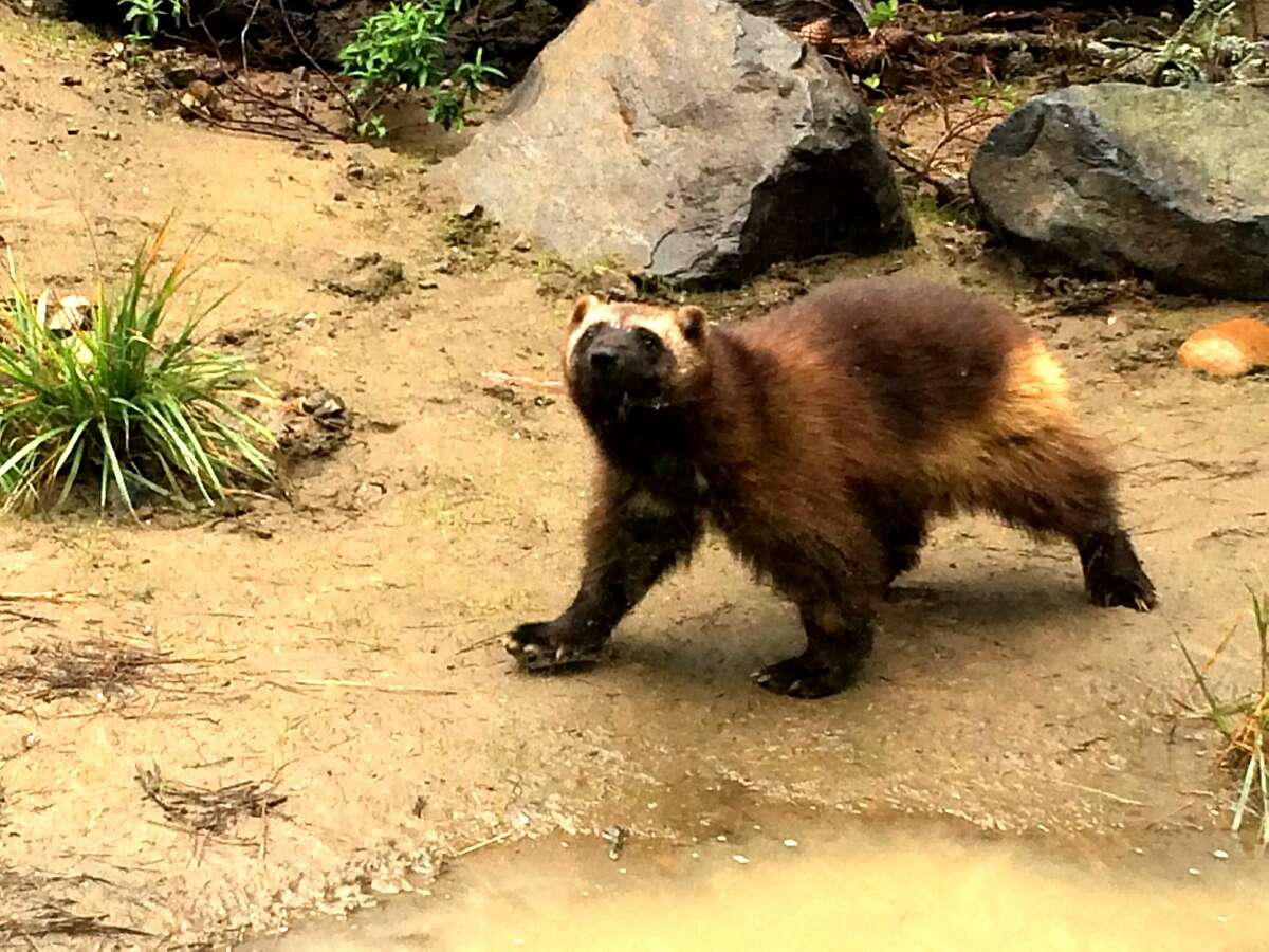 A wolverine checks out his new home Friday at the San Francisco Zoo.