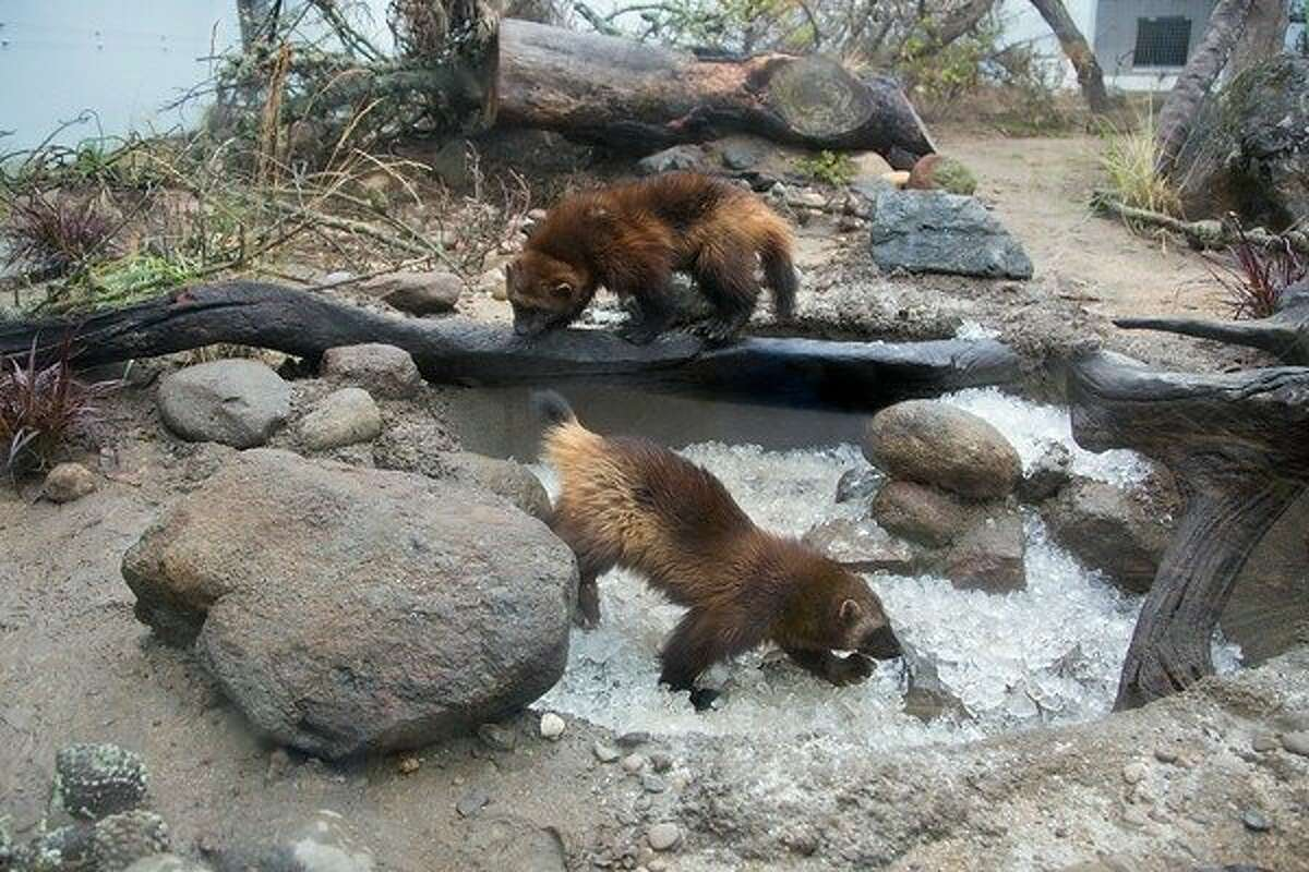 The San Francisco Zoo debuted its wolverine exhibit Friday, introducing a 7-year-old male and 13-year-old female.
