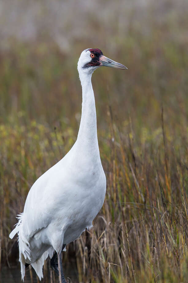 Whooping cranes are five-feet tall with a seven to eight-foot wingspan.  Roughly 600 whooping cranes winter at the Aransas National Wildlife Refuge near Rockport Texas.  Photo Credit:  Kathy Adams Clark.  Restricted use. Photo: Kathy Adams Clark / Kathy Adams Clark/KAC Productions
