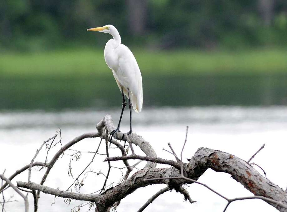 An egret perched on the branch of a dead tree in Eagle Pond at Greenwich Point, Greenwich, Conn., Thursday, July 17, 2014. Photo: Bob Luckey / Greenwich Time