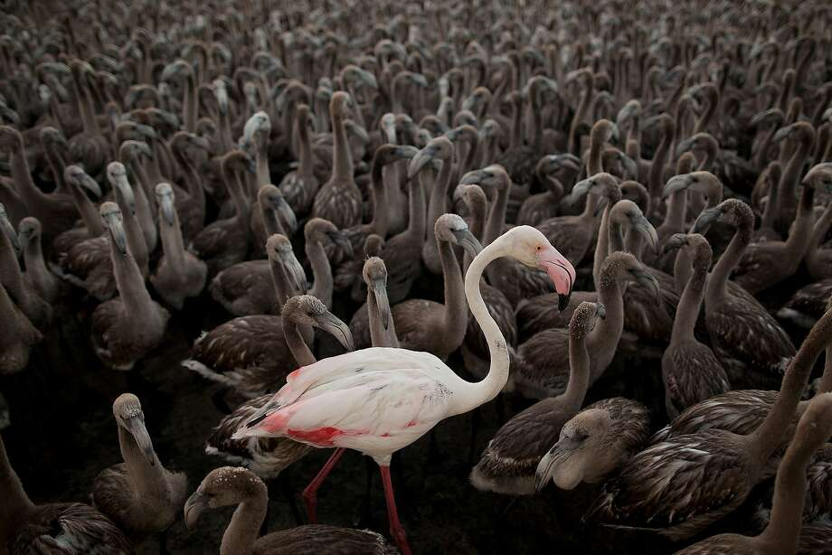 The grown-up: Hundreds of juvenile flamingos surround a single adult in an enclosure at Spain's Fuente de Piedra Lake. Fuente de Piedra lagoon is one of the main breeding grounds for flamingos in the Iberian Peninsula. Photo: Pablo Blazquez Dominguez, Getty Images