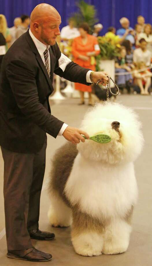 Colton Johnson of Colorado Springs, CO competes with an Old English Sheepdog named Swagger during the Best of Show competition at the Houston World Series of Dog Shows at NRG Center Sunday, July 20, 2014, in Houston. He won Best of Show for Sunday's show and Best of the Best for the overall shows. Photo: Melissa Phillip, Houston Chronicle / © 2014  Houston Chronicle