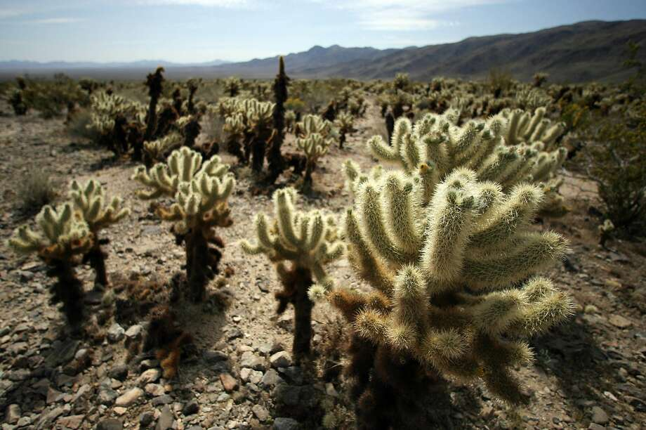 View of cactus in Cholla Cactus garden in the 1,234-square-mile Joshua Tree National Park, April 07,2008. Joshua Tree National Park is located in south-eastern California and declared as a U.S. National Park in 1994, and a U.S. National Monument since 1936. A large part of the park is designated to wilderness area . AFP PHOTO GABRIEL BOUYS (Photo credit should read GABRIEL BOUYS/AFP/Getty Images) Photo: Gabriel Bouys, AFP/Getty Images