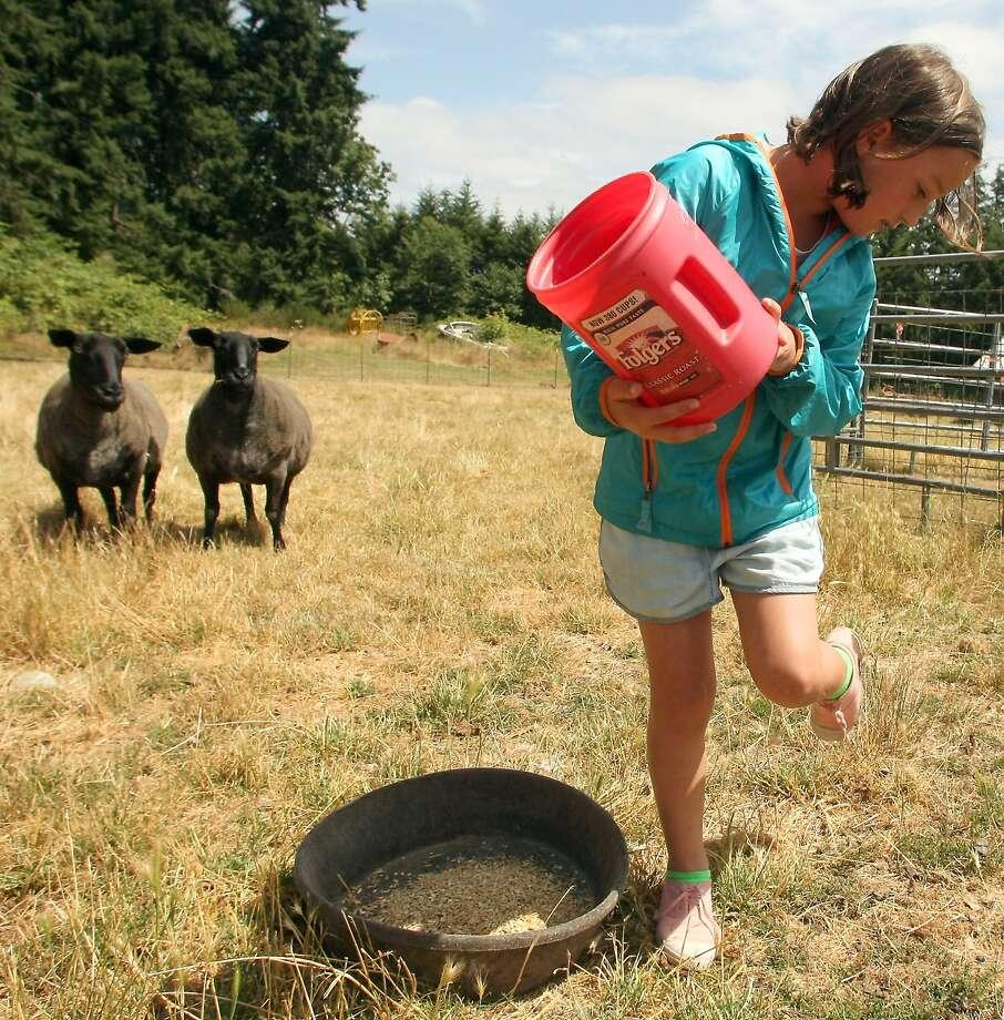 Sheep happens:At Pheasant Fields Farm in Silverdale, Wash., 8-year-old Marie Frati worries that she   stepped on a landmine. Photo: Meegan M. Reid, Associated Press