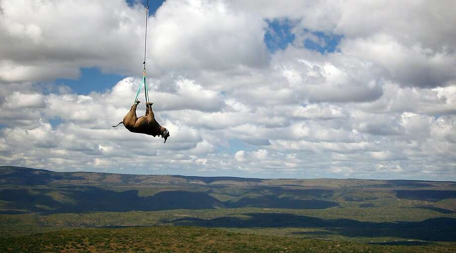 A black rhino is transported by helicopter in South Africa. Black rhinos are an endangered species. Photo: Associated Press