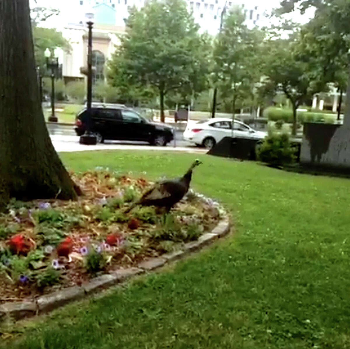 A wild turkey has been seen frequently in downtown Bridgeport this summer.