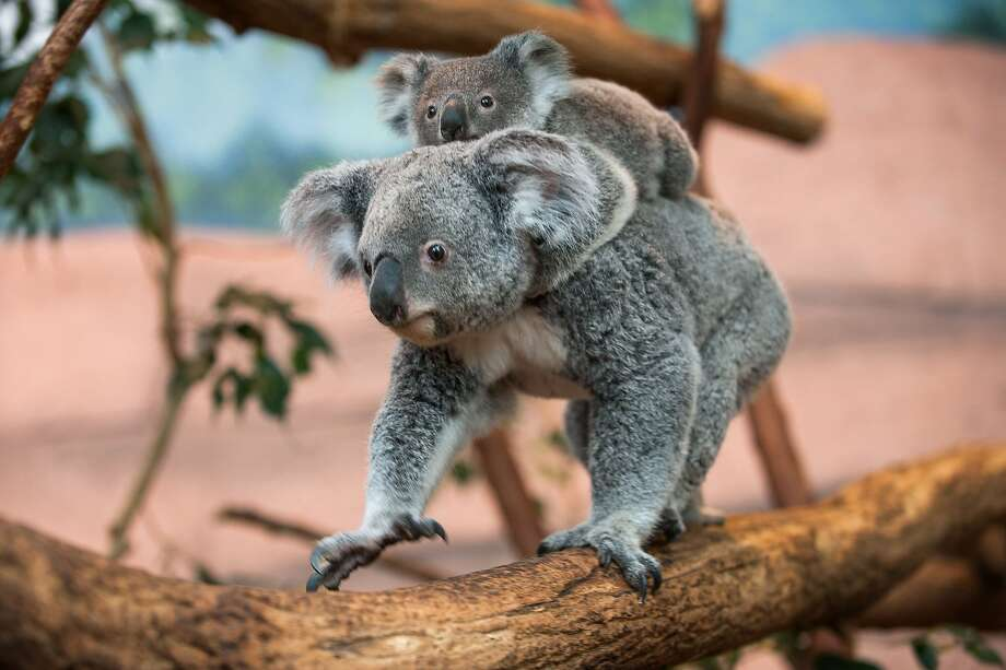 Clinging koala:Alinga, who left her mother's pouch in May, still has to be chauffeured around the Zoo Parc of Beauval in St. Aignan, France. Photo: Guillaume Souvant, AFP/Getty Images