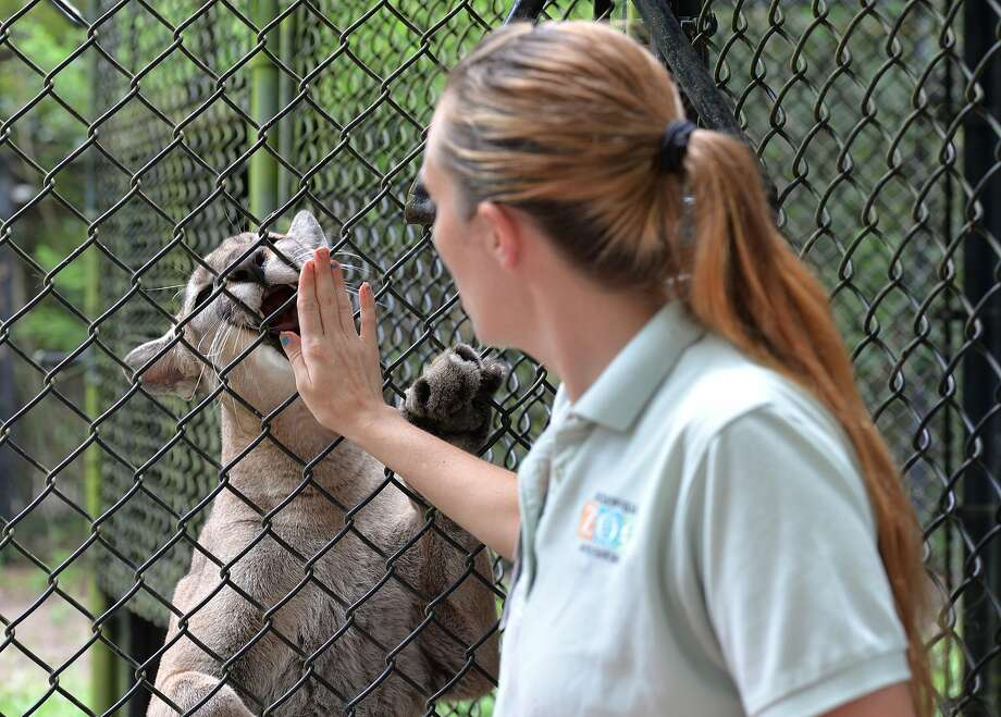 Grateful kitty:Kimberly Skelton gets a lick from a Florida panther after giving it some frozen meat at the Jacksonville (Fla.) Zoo and Gardens. Note she offers only her palm rather than sticking her fingers through the fence. Photo: Bruce Lipsky, Associated Press