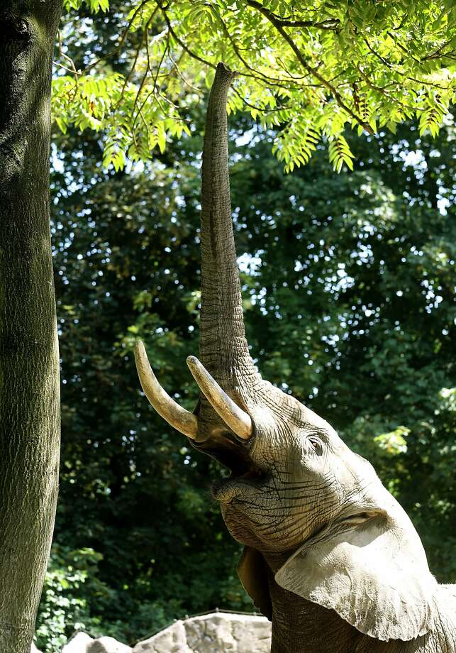 Just out of reach:What this elephant at  Duisburg (Germany) zoo, wouldn't do for a step ladder. Photo: Roland Weihrauch, AFP/Getty Images