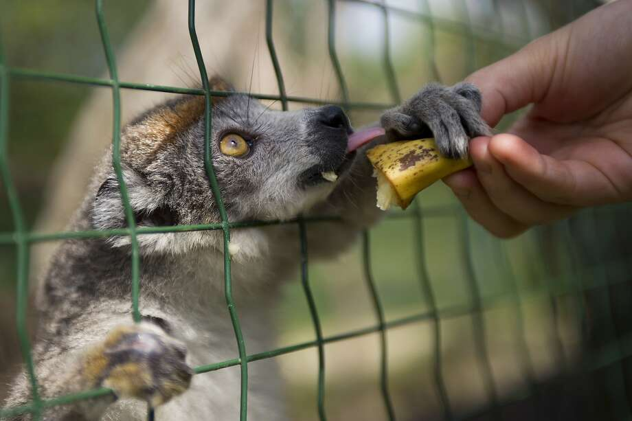 For me? A crowned lemur grabs a treat at La Haute Touche zoological park in Obterre, France. Photo: Guillaume Souvant, AFP/Getty Images