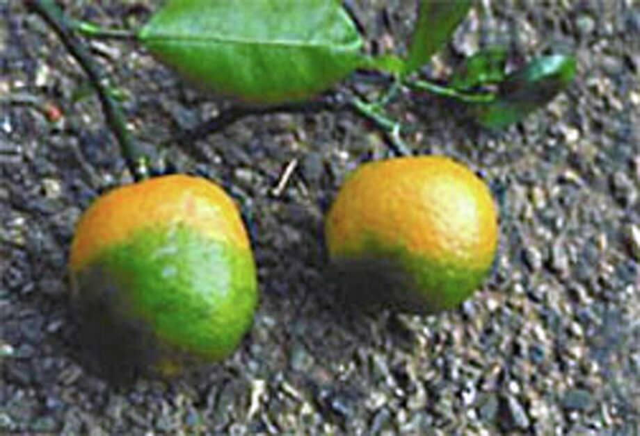 These oranges show symptoms of citrus greening disease. USDA photo Photo: User