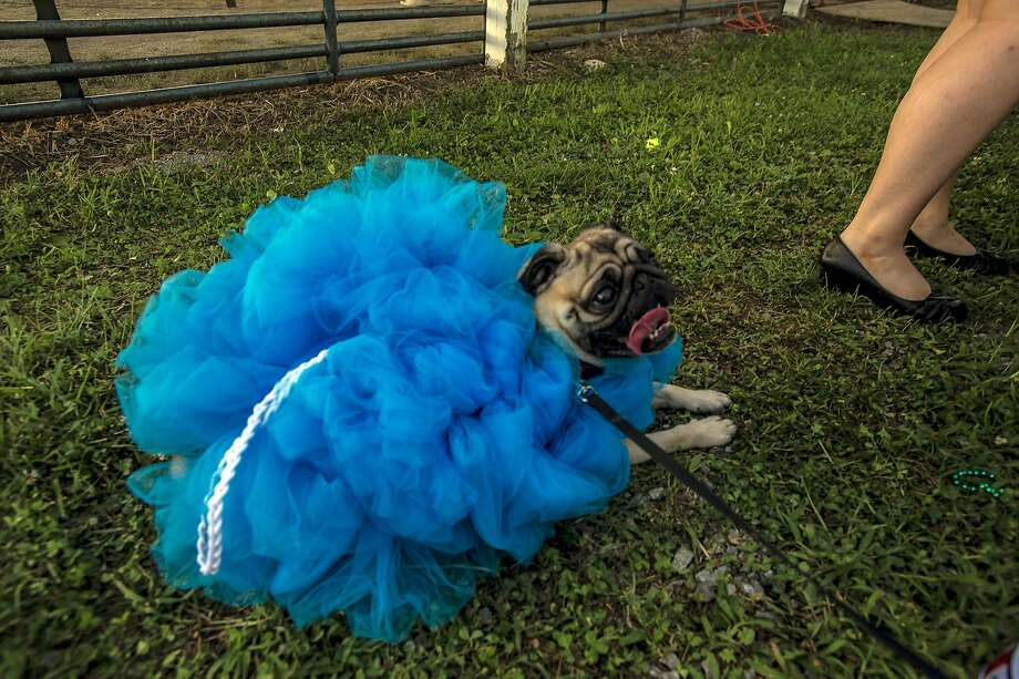 There must be 50 ways to leash your loofah: Bruce, a pug disguised as a loofah, is hoping the judges at the Mercer 