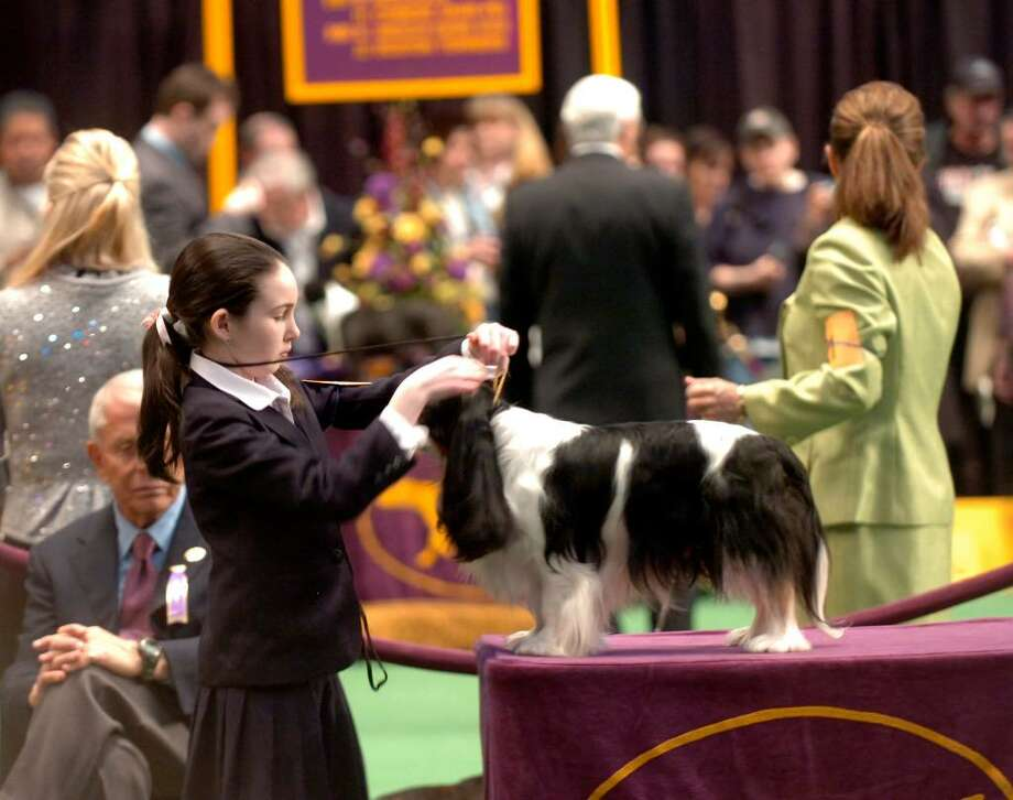 Hayley Hendrick, 13, from New Canaan, CT, handling her Cavelier King Charles spaniel, Micah at the Westminster Kennel Club dog show at Madison Square Garden, New York, on Monday, February 15, 2010. Photo: Helen Neafsey / Greenwich Time