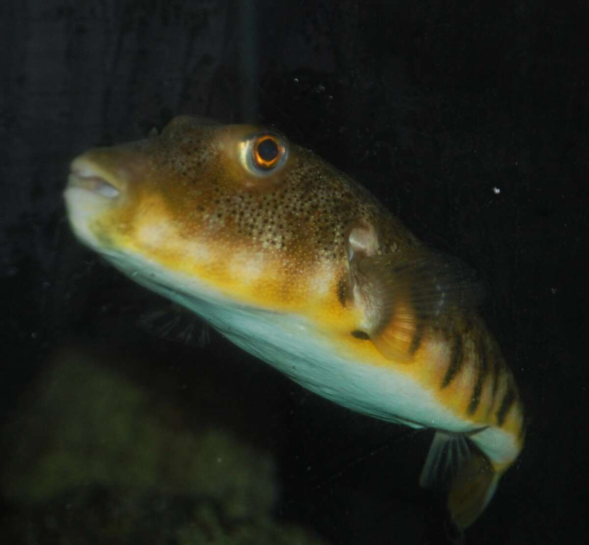 The Northern Pufferfish is your classic