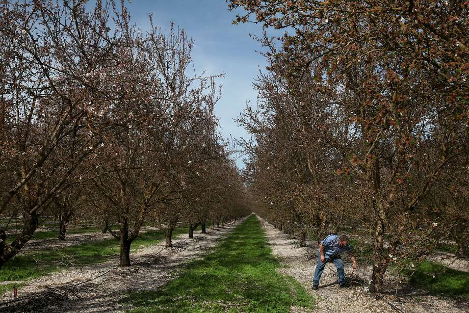 California's almond orchards use enough water to supply the domestic needs of about 75 percent of the state's population. Photo: Leah Millis, The Chronicle