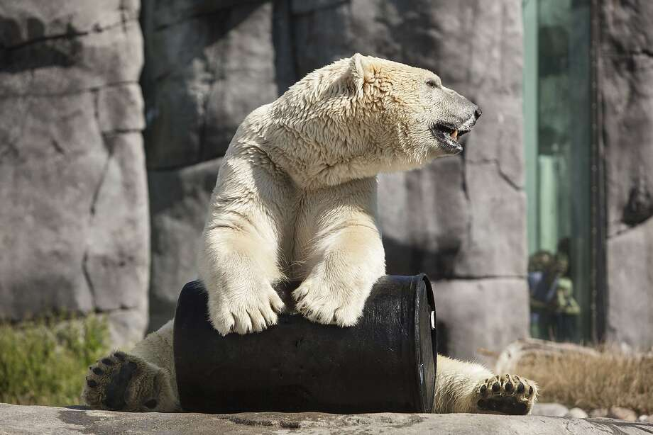 Too hot to be wearing a fur coat: An overheated polar bear cools off his nether regions with a barrel that's been chilled in a freezer at the Copenhagen Zoo. Photo: Niels Ahlmann Olesen, AFP/Getty Images