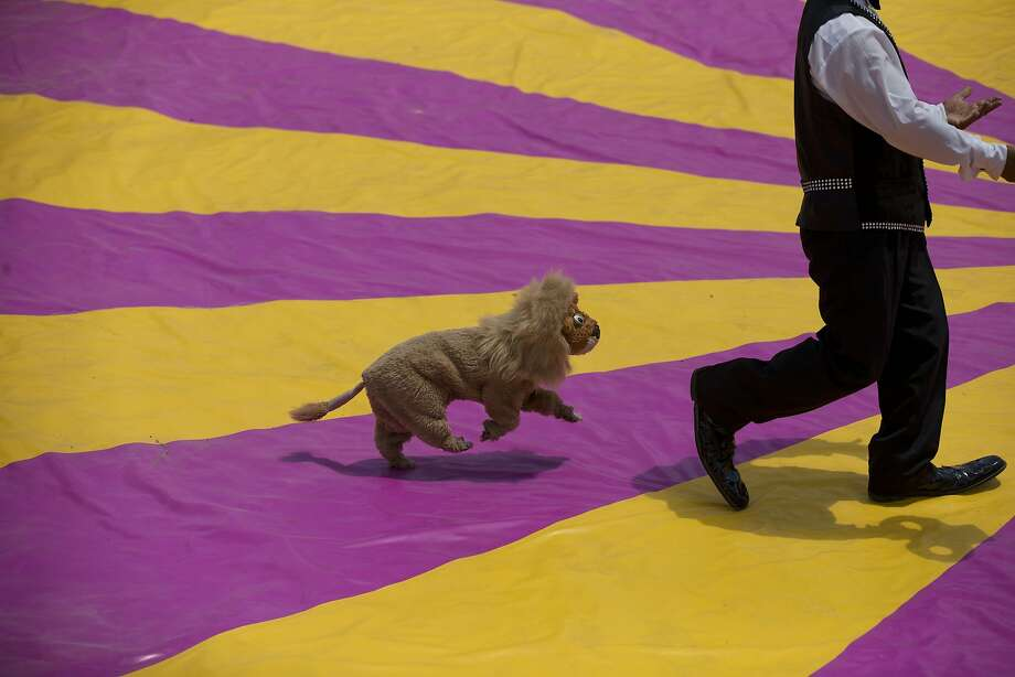 """Big shoes and fake cats:A """"lion"""" - actually a dog in costume - chases a clown during a free performance in Mexico City's   main square to protest the city's ban on circus animals. The circuses say no one will pay to see   shows without animals other than horses and dogs. Photo: Rebecca Blackwell, Associated Press"""