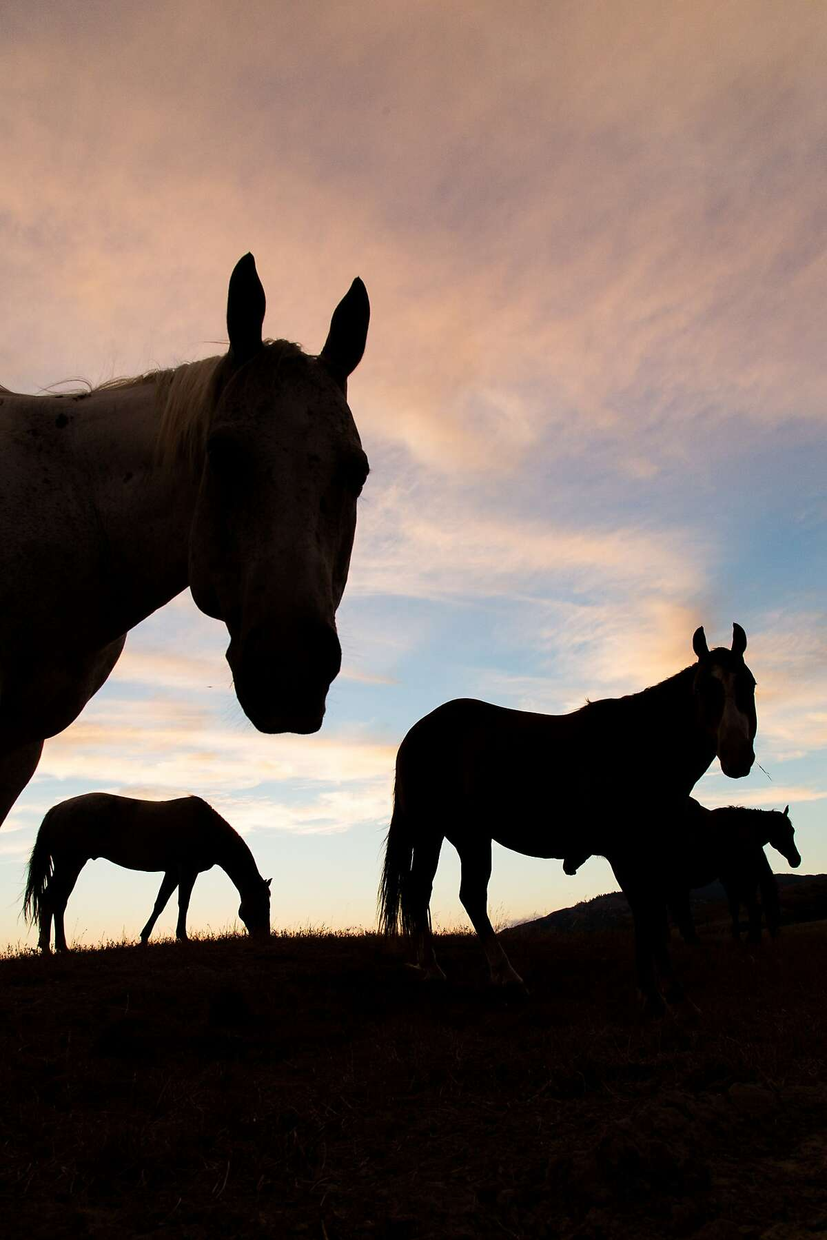 Horses roam in a pasture at the 82,000 acre Hearst Ranch in San Simeon, Calif., Monday July 22, 2014.