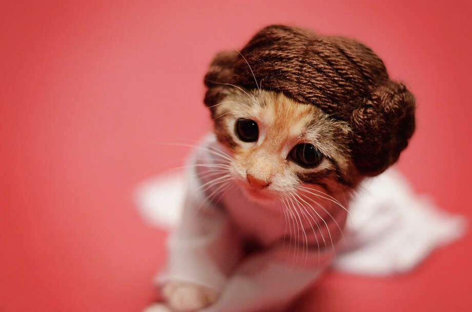 The deep and devastatingly beautiful kitten Princess Leia is still roaming the galaxies looking for a place to call her own. Photo: Wendy Robbins/Crosswind Creates