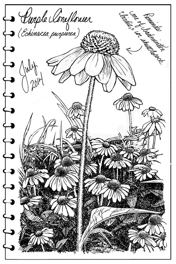 """Did you know there's such a thing as a """"perennial plant of the year?"""" According to the National Garden Bureau, 2014's winner is the Purple Coneflower (Echinacea purpurea), a member of the Asteraceae family, which includes daisies, sunflowers and asters. The boranical name, Echinacea — pronounced """"eck-in-ay-sha"""" — is derived from the Greek word for """"prickly sea urchin"""" or """"hedgehog."""" (Carol Coogan)"""
