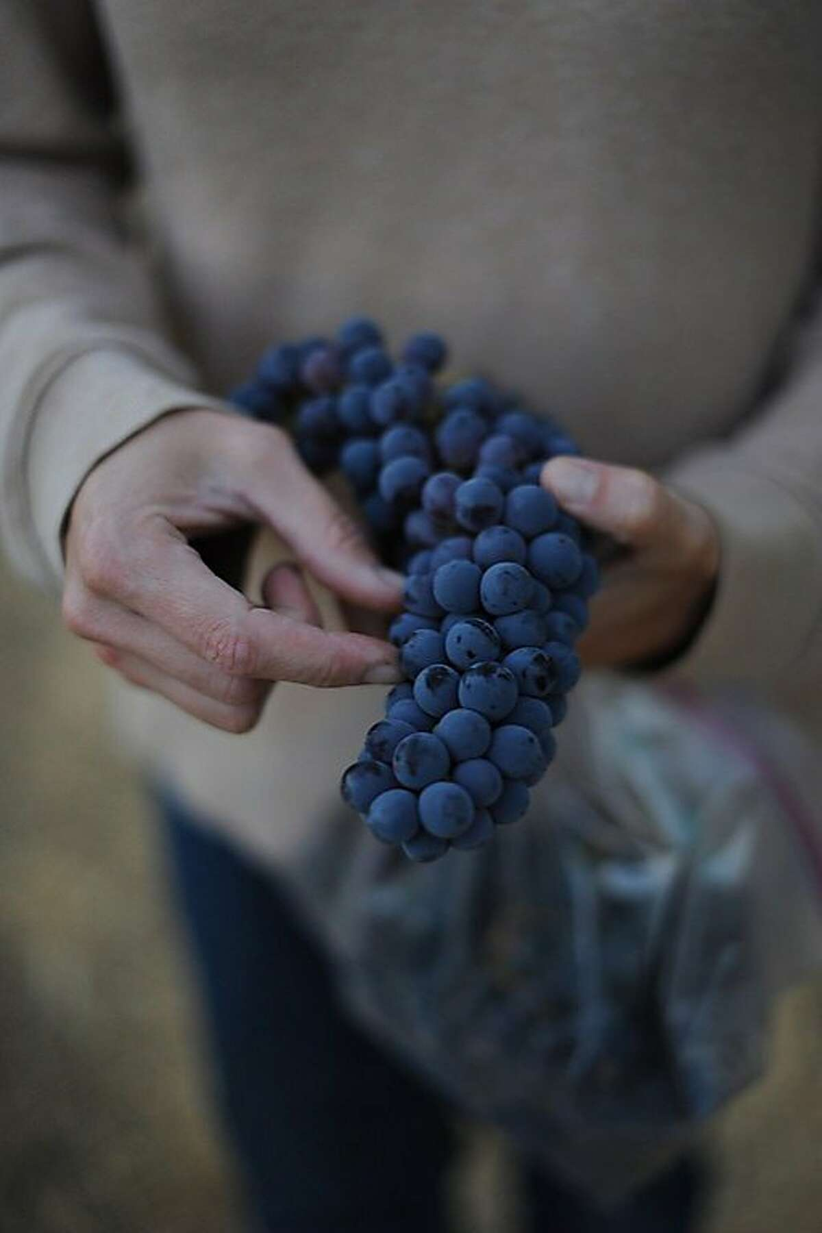 Stephanie Terrizzi of Giornata holding a freshly picked cluster of Sangiovese grapes in Paso Robles during harvest 2012. Photo by: Erik Castro
