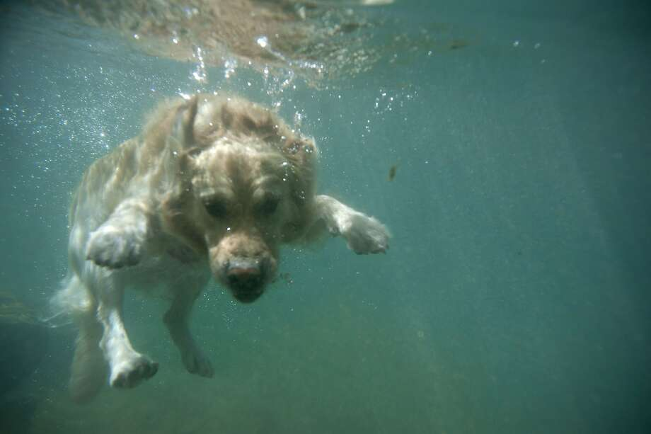 """WHERE'S THE CAT?!A dog named Corso dives into the Guadiaro River at """"La Cueva del Gato"""" (The Cove of the Cat) during a hot summer day near Benaojan, Spain. Photo: Jorge Guerrero, AFP/Getty Images"""