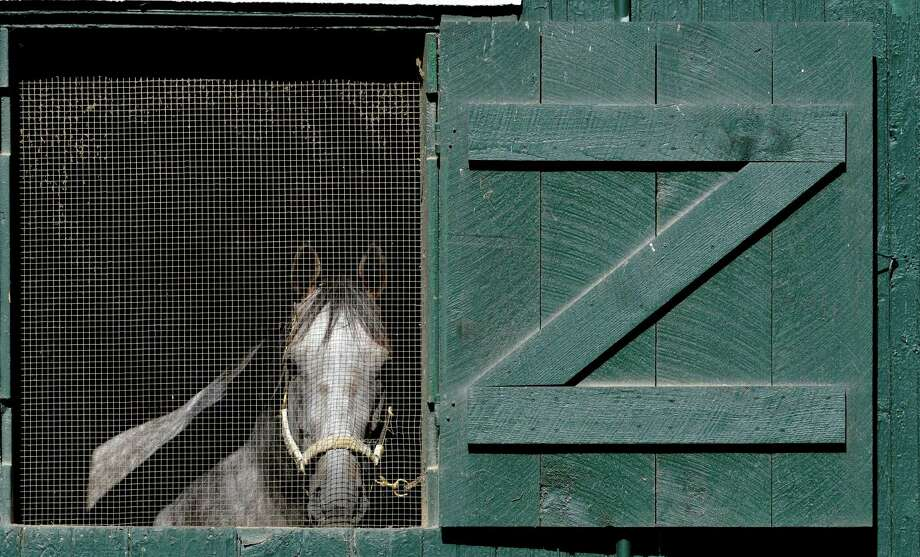 A thoroughbred checks out the world outside its stall Thursday morning July 24, 2014 at the Saratoga Race Course in Saratoga Springs, N.Y.      (Skip Dickstein / Times Union) Photo: SKIP DICKSTEIN