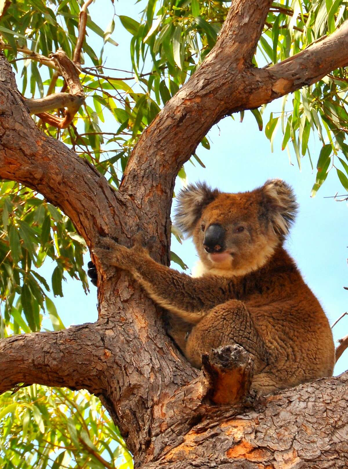 A koala happily lounging at the Mikkera Homestead, an animal reserve near Port Lincoln, on the Eyre Peninsula.
