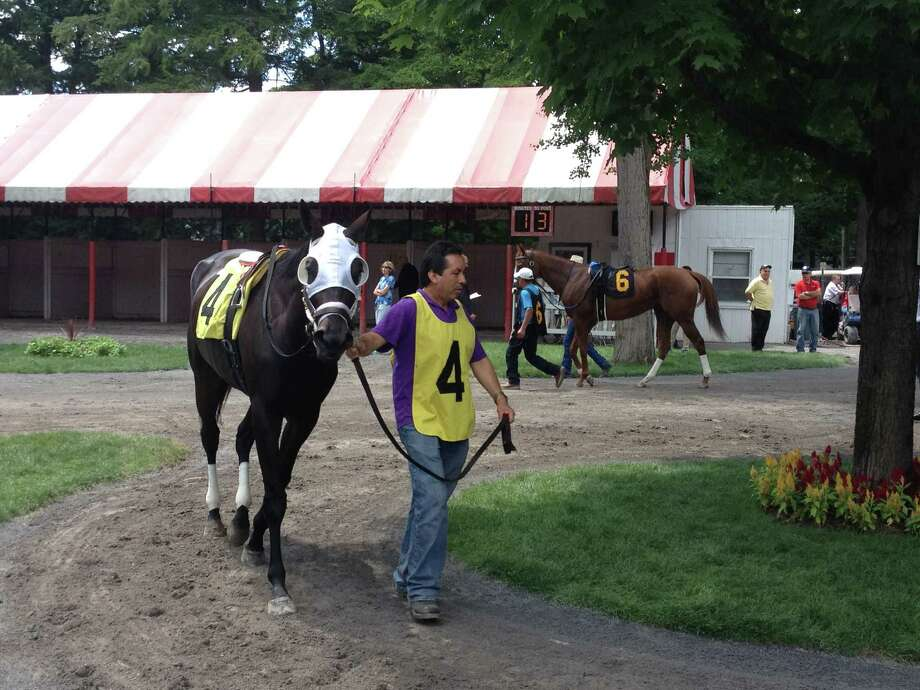 Oasis At Midnight gets ready to run in the fourth race at Saratoga on Thursday afternoon. The 4-year-old filly looked good as she walked under one of the grand trees in the Spa paddock. She ran her best, but could only manage to finish fifth in the six-horse field.