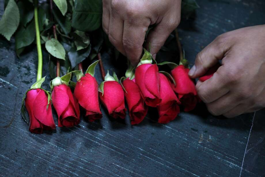 Fortunato Rodriguez counts and stacks the rose buds as he bundles them in dozen bouquets, Monday, February 10, 2014, Neve Rose vendor space at the San Francisco Flower Mart in San Francisco, Calif. Photo: Lacy Atkins, The Chronicle
