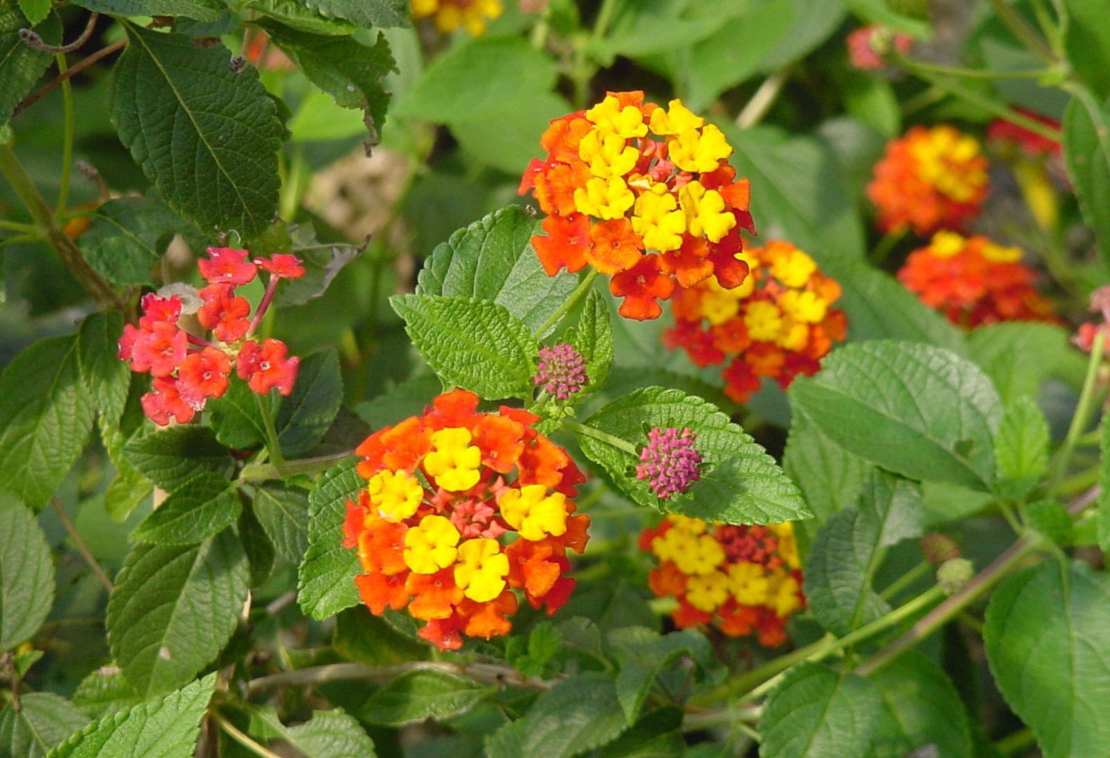 For Garden Color Try Esperanza Lantana And Maximilian Sunflower