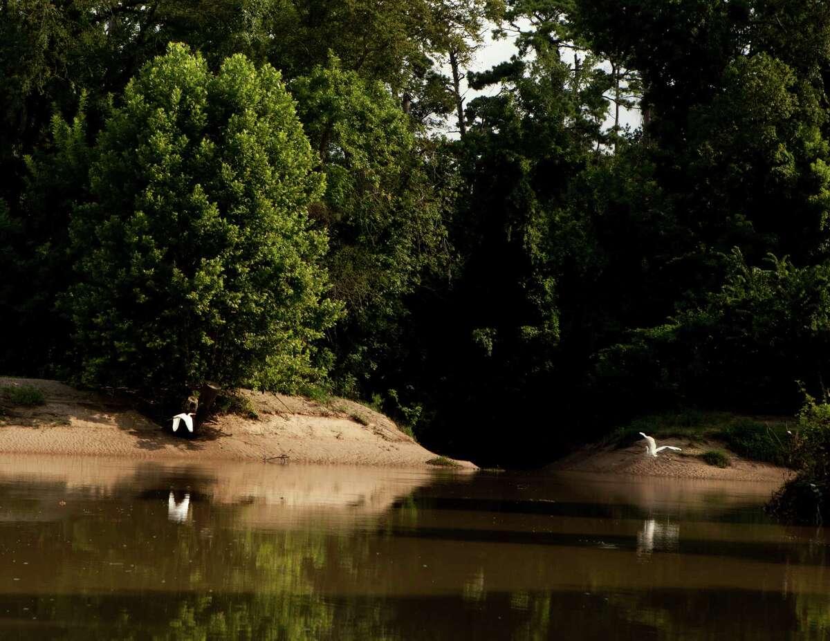 Egrets on the bayou.
