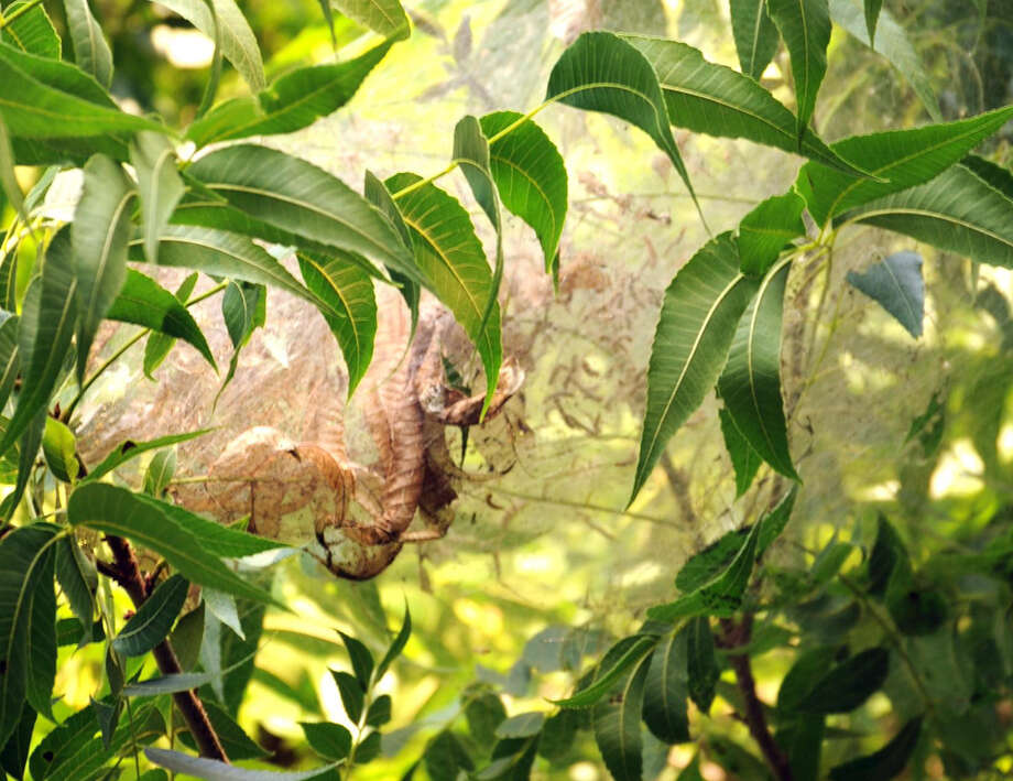 While unsightly and undesirable, webworms pose little threat to a pecan harvest. Photo: Courtesy Neil Sperry