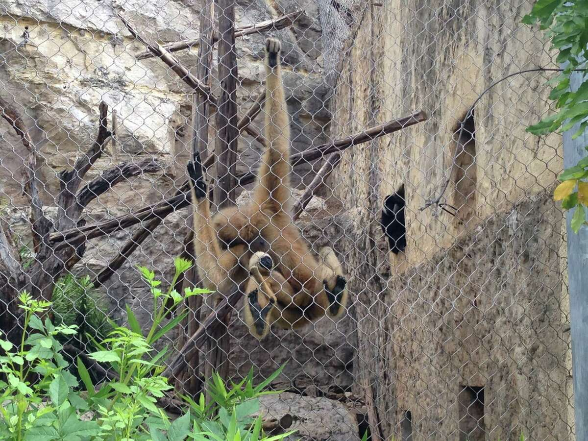 Maya, a White-Cheeked Gibbon, is constantly preoccupied with her newborn, Harrison, which may be the reason why her other sons, Jude and Gibson, have escaped from the enclosure. The two have always safely returned, but the mom may be shunning them away because of their maturity.