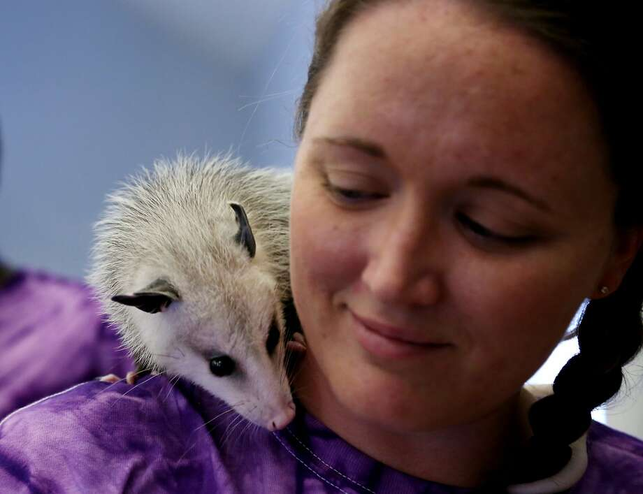 "Awesome possum! Edison the opossum cuddles up with camp counselor Christina Hartman during the show-and-tell portion of the ""Eat or Be Eaten"" program at the Discovery Camp in Webster, Texas. Hopefully, Edison wasn't on the menu. Photo: Gary Coronado, Houston Chronicle"