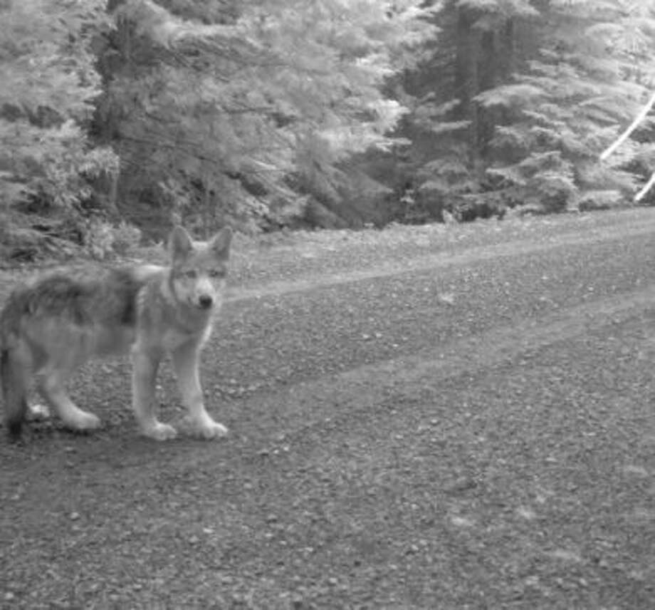 One of OR-7′s pups photographed by remote trail camera on July 12 Photo: U.S. Fish And Wildlife Service, Courtesy