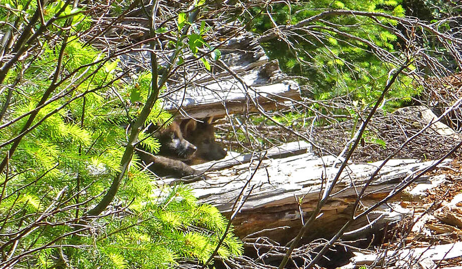 A biologist photographed 2 wolf pups belonging to OR-7, one gray, one black, last month Photo: U.S. Fish And Wildlife Service, Courtesy