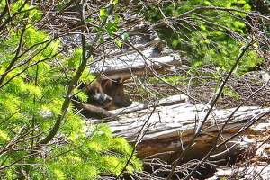 A biologist photographed 2 wolf pups belonging to OR-7, one gray, one black, last month