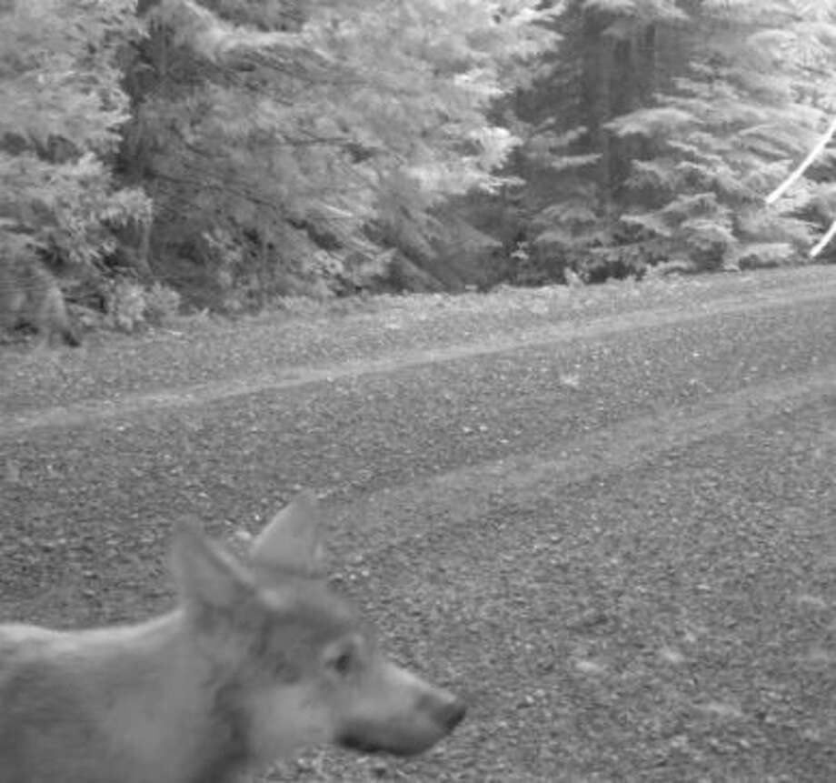 A second gray wolf pup can be seen as a blur in the far left near trees Photo: U.S. Fish And Wildlife Service, Courtesy